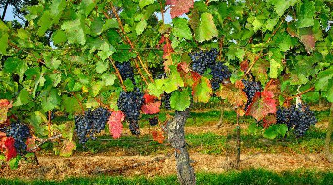 Blaufränkisch grape vines